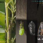 پروانه از تخم تا کرم